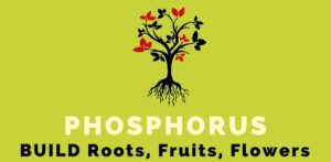 Phosphorus or phosphate in fertilizer helps build roots, fruits and flowers.